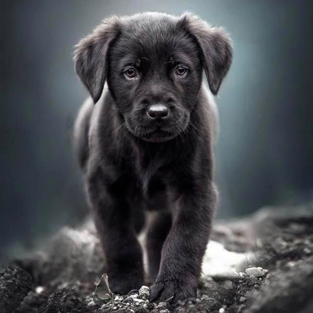 Labrador S World On Instagram Our Facebook Followers Know Us Facebookpage Labrador S World 150k Followers Cute Baby Animals Cute Funny Animals Dog Lovers