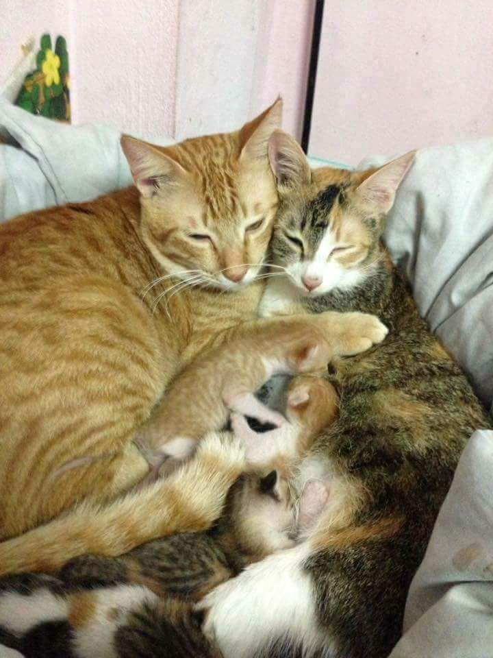 Father Cat Supporting The Mother Cat Giving Birth Cats Post Cat Having Kittens Kittens Cutest Cute Baby Animals