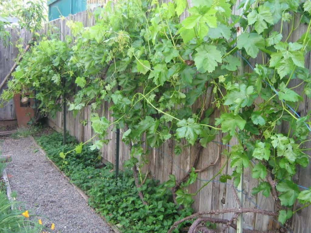 Growing Grapes At Home (With images) | Ground cover plants