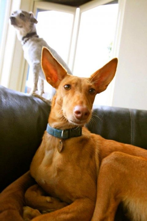 This is Linda, a Pharaoh Hound cross. What a beautiful and ...