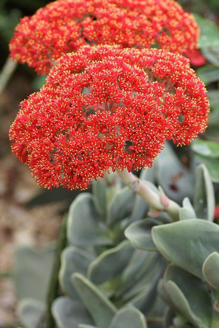 #Crassula perfoliata var. falcata #succulent