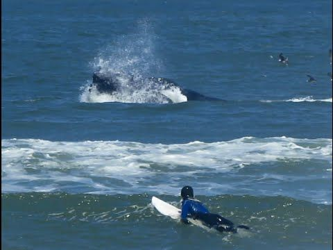 Surfing With Lunge Feeding Humpback Whales Pacifica Linda Mar June 30 2016 Humpback Whale Surfing Whale
