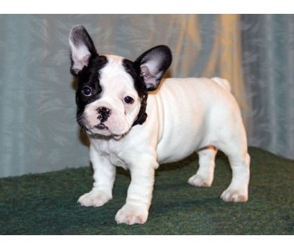 Happy French Bulldog Puppies For Sweet Homes Is A French Bulldog
