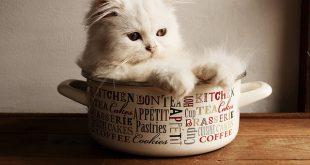 เคล ดล บในการกระต นล กแมวข บถ าย สำหร บล กแมวอาย 1 ว น ถ ง 3 ส ปดาห แมวเปอร เซ ย ส น ข หมา