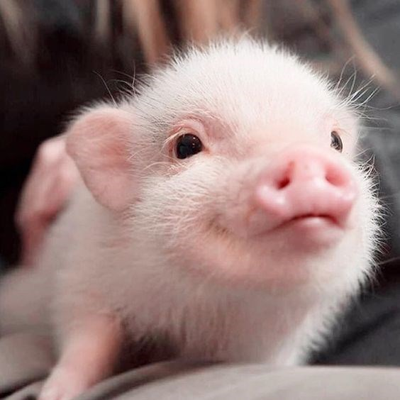 20 Piglets Whose Oinks You Would Love To Boop! - I Can Has Cheezburger?