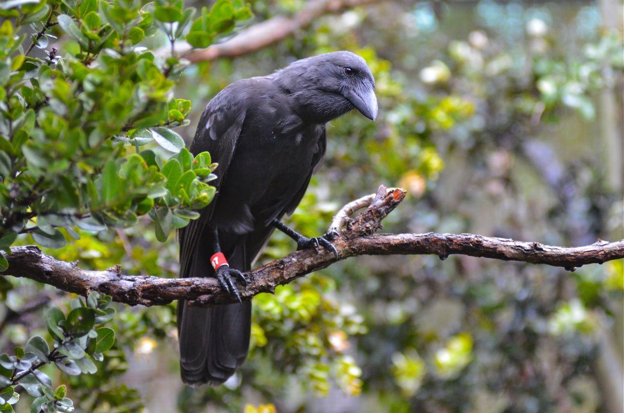 Hawaiian Crow: The Hawaiian crow, also known as the Aumaka ... - photo#2