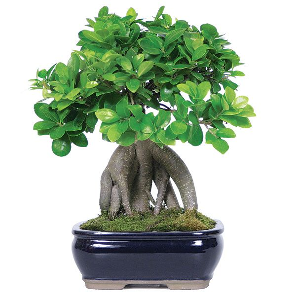 ginseng ficus bonsai tree and how to turn a ginseng ficus. Black Bedroom Furniture Sets. Home Design Ideas