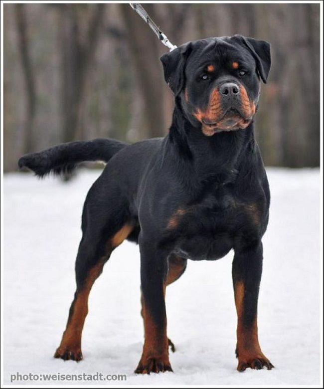 Rottweiler Puppies For Sale In Chennai Zoe Fans Blog