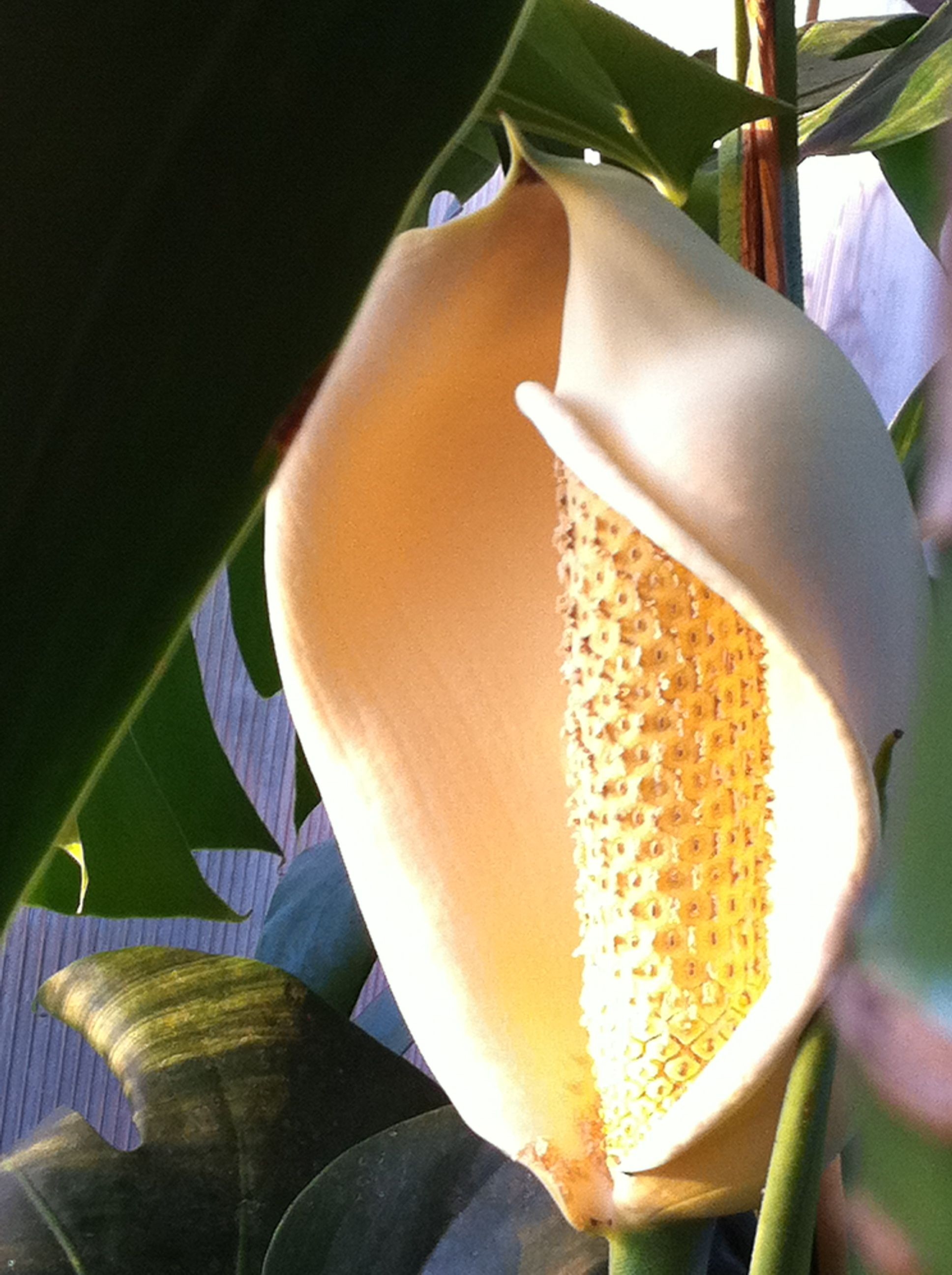 Monstera deliciosa flower looks very much like an enlarged peace monstera deliciosa flower looks very much like an enlarged peace lily flower with the izmirmasajfo Choice Image