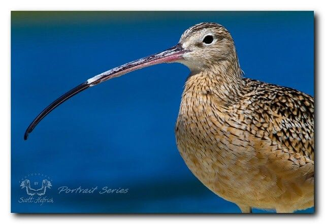 Long-billed Curlew  scotthelfrichphotography.com