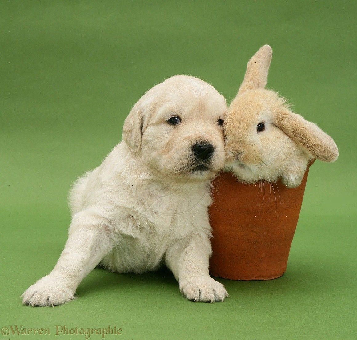 puppies & bunnies | Cute Retriever puppy with bunny rabbit ...