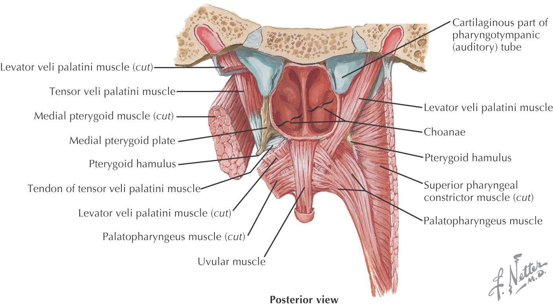 levator veli palatini - Pesquisa Google | Human anatomy references ...