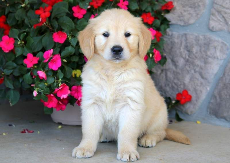 Lexi Golden Retrievers Retriever Puppy Dogs Puppies