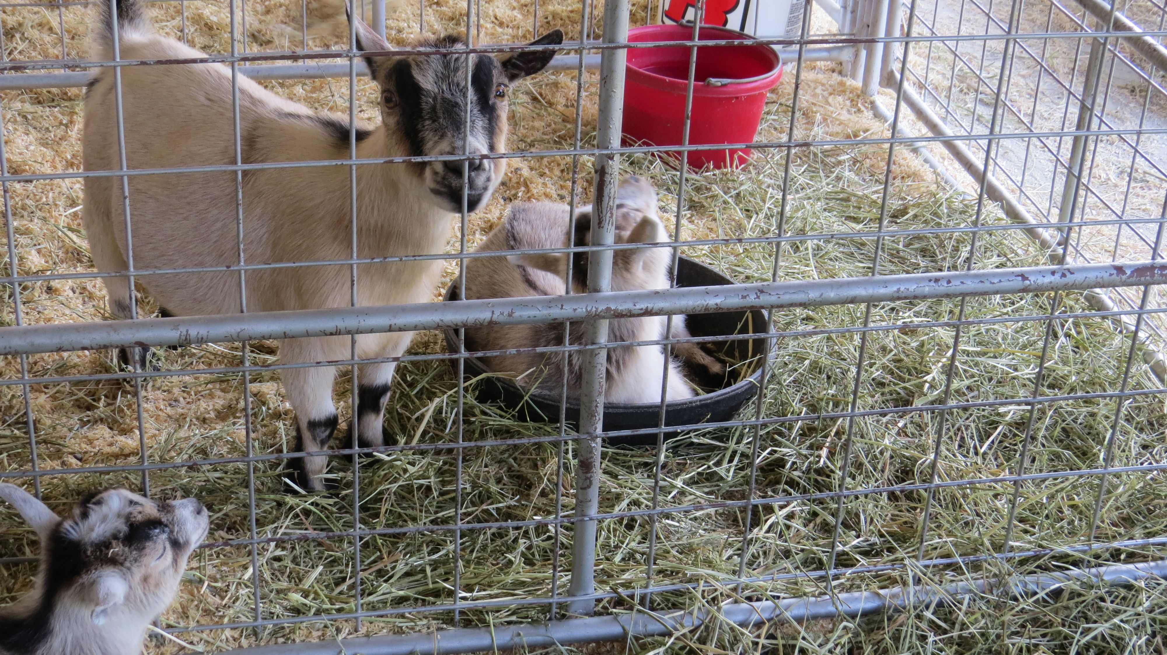 goats 4H Fair Rural landscape, Rural, Animals