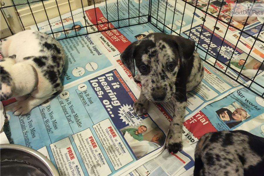 NALC Registered Catahoula Puppies Catahoula leopard dog