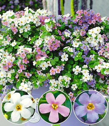 Bacopa Container Flowers Container Gardening Flowers Bacopa Plant