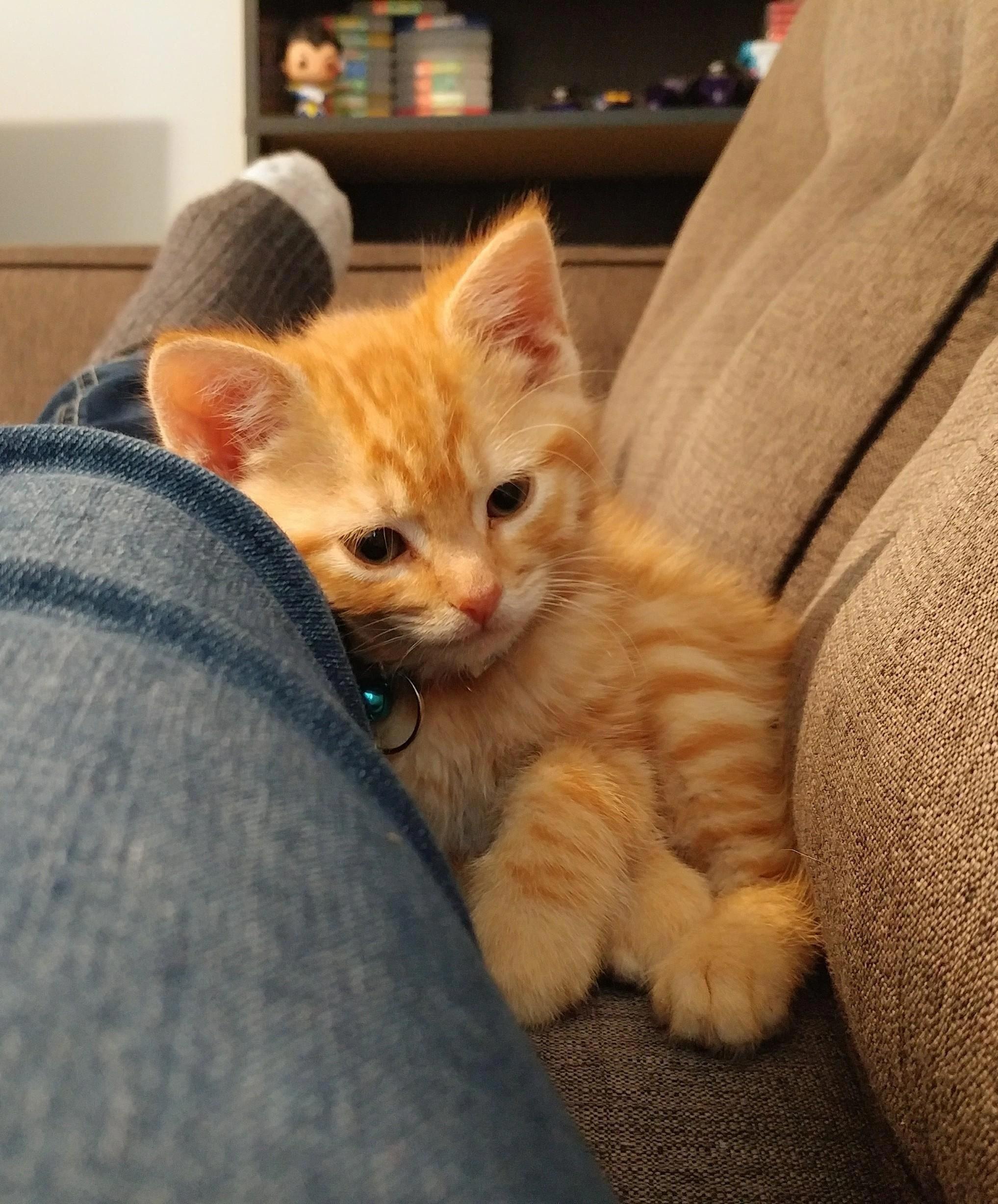 Noah is late Cute cat gif, Ginger kitten