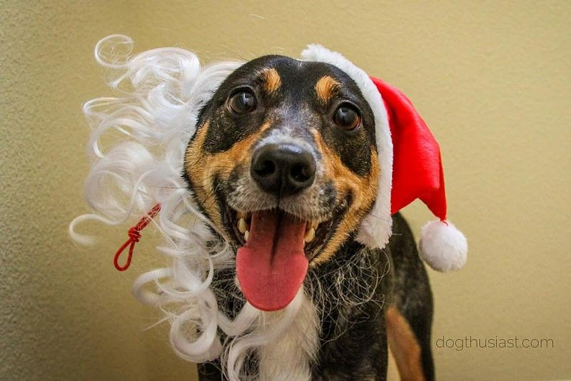 Our crazy Mort in a Santa hat.