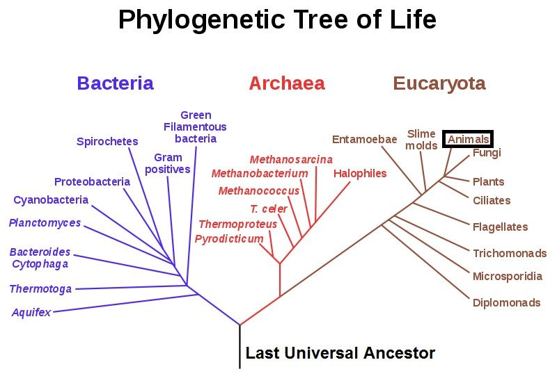 Phylogenetic Tree Of Life Phylogenetic Tree Tree Of Life Life Map