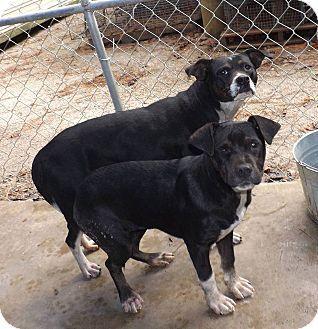 Henderson Nc Rottweiler Feist Mix Meet Mindy A Puppy For Adoption Http Www Adoptapet Com Pet 12178537 Henderso Puppy Adoption Rottweiler Rottweiler Mix