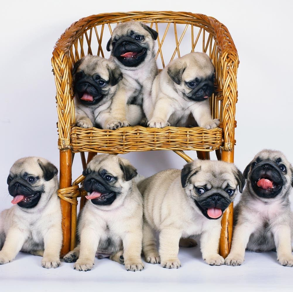 The Best Columbus Day Sales And Big News Katie Considers Pug Puppies Cute Pugs Pugs