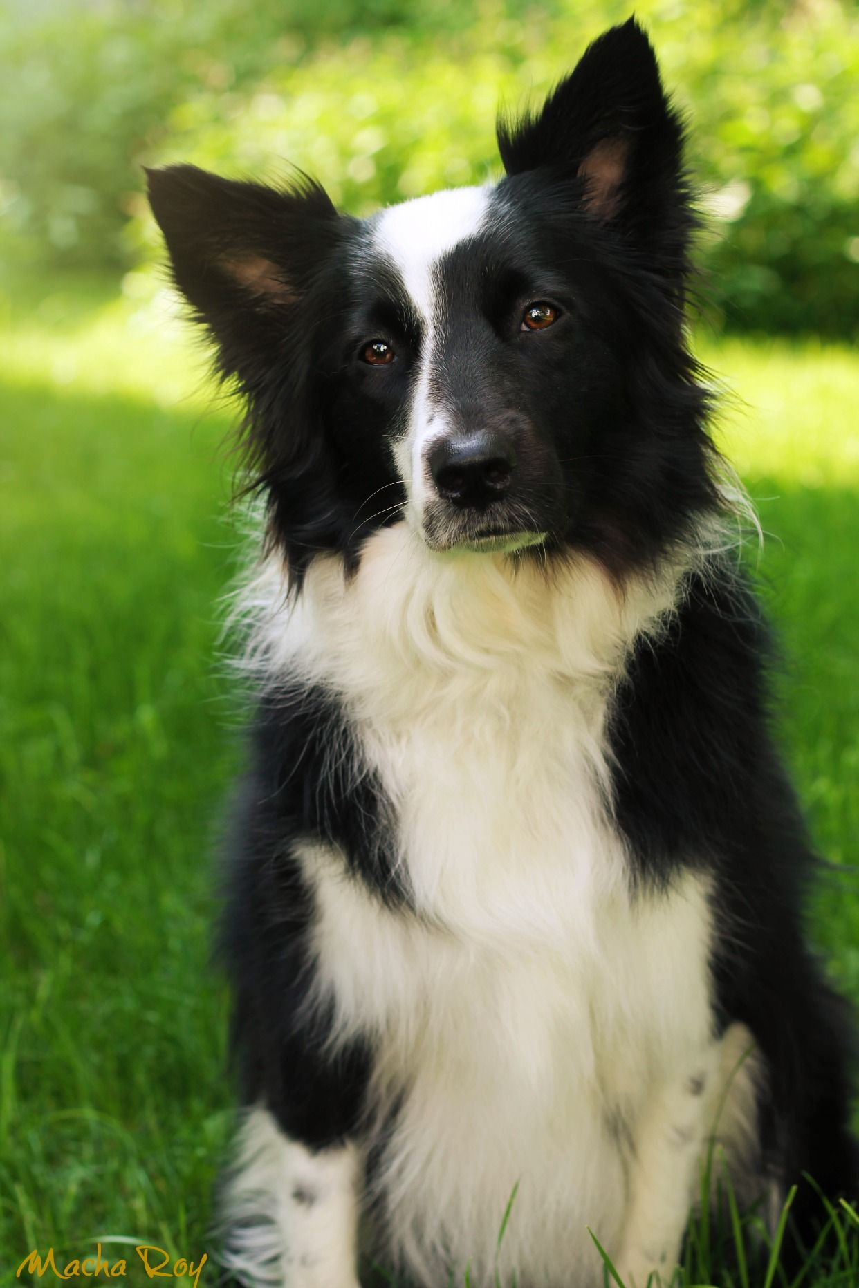 Black And White Female Border Collie Collie Dog Collie Dog Breeds