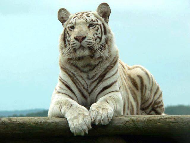 A rare white tiger