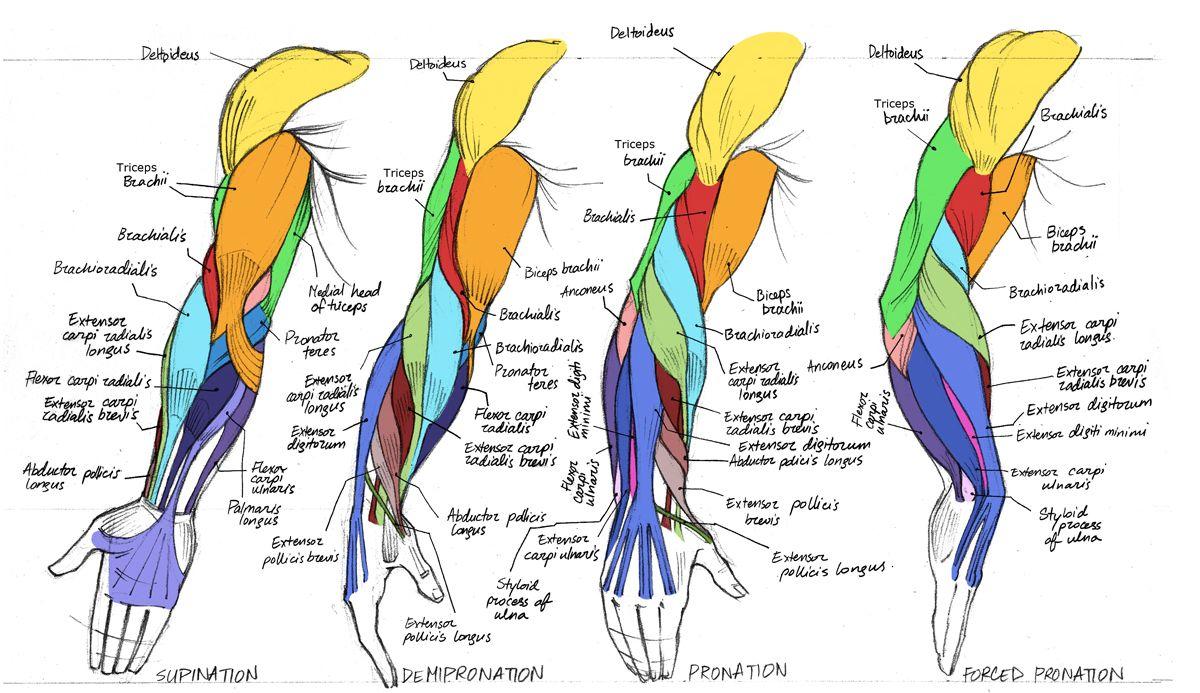 Weekly Anatomy Challenge Week 2 Polycount Forum Anatomy