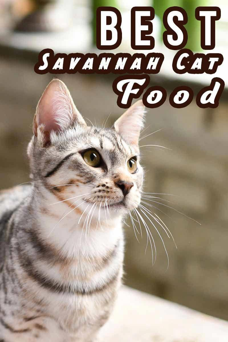 Best savannah cat food finding the best food for your