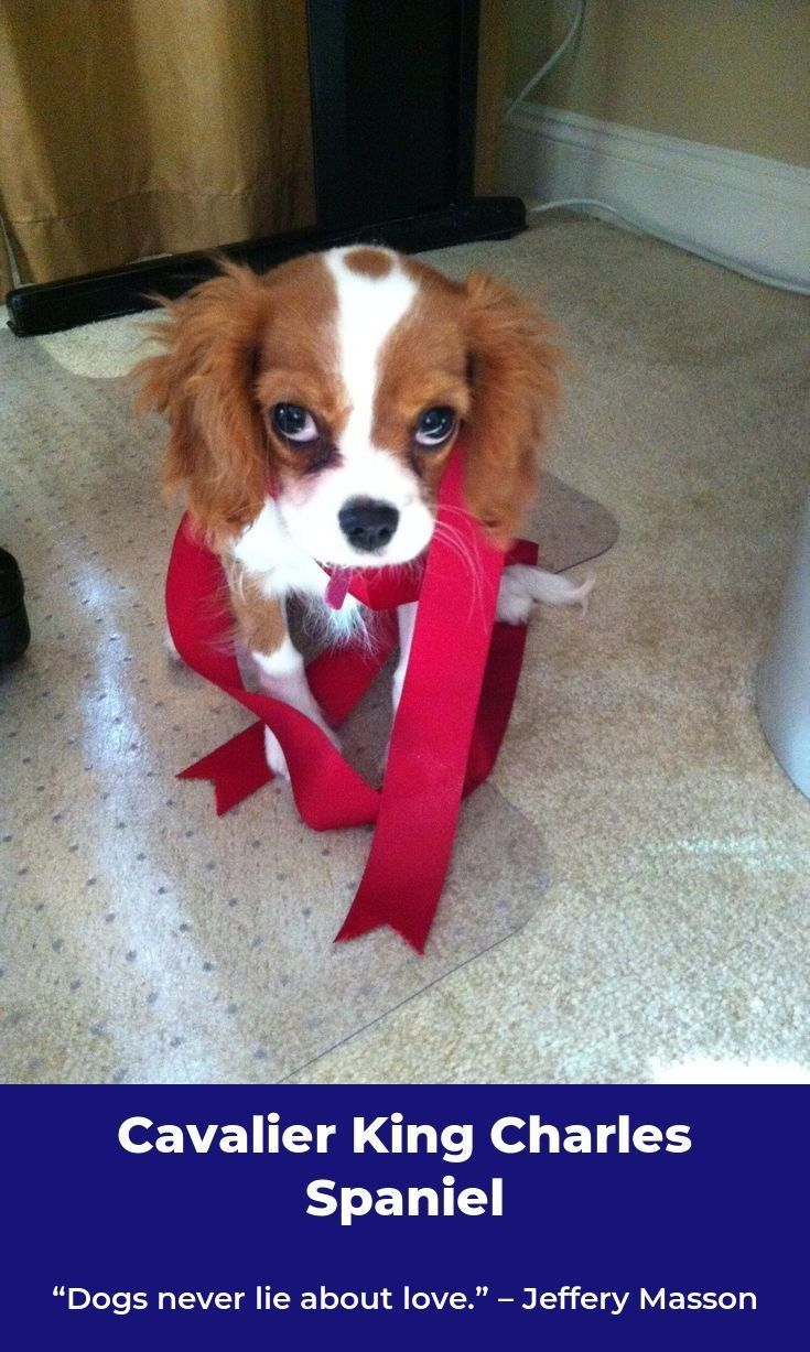 Cavalier King Charles Spaniel – Graceful and Affectionate ...