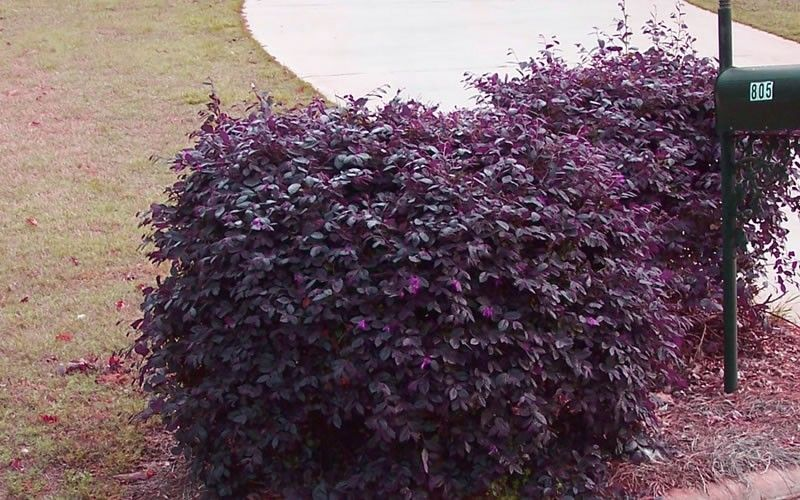 purple diamond loropetalum 5'