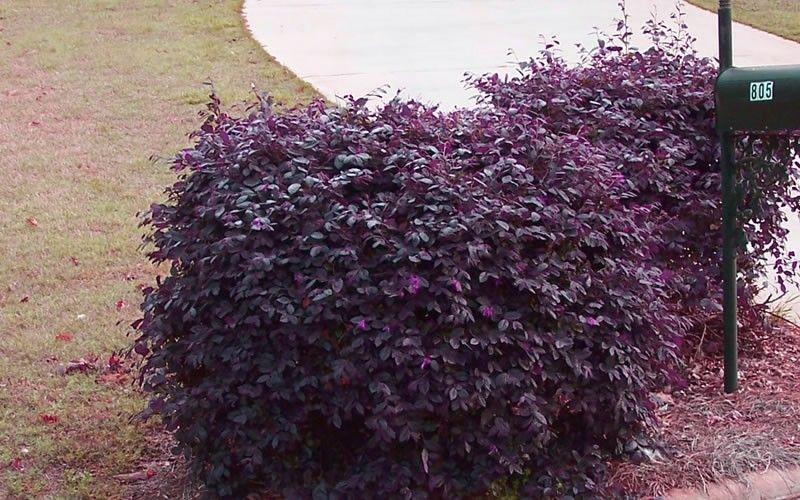 Purple Diamond Loropetalum Southernlivingplants Gardening Shrubs Loropetalum Plantsonline Garden Shrubs Low Growing Shrubs Dwarf Shrubs Full Sun