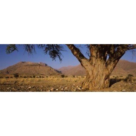 Camelthorn tree (Acacia erioloba) with mountains in the background Brandberg Mountains Damaraland Namib Desert Namibia Canvas Art - Panoramic Images (18 x 7)
