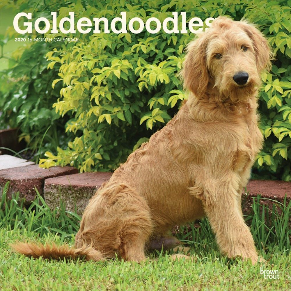 Goldendoodles 2020 Wall Calendar Goldendoodle Dog Calendar Dog