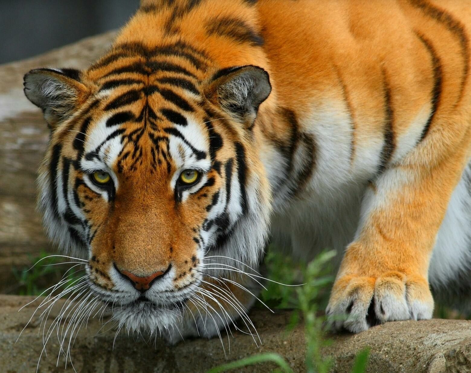 Pin by mybig johnson on big cats pinterest tigers cat and wild