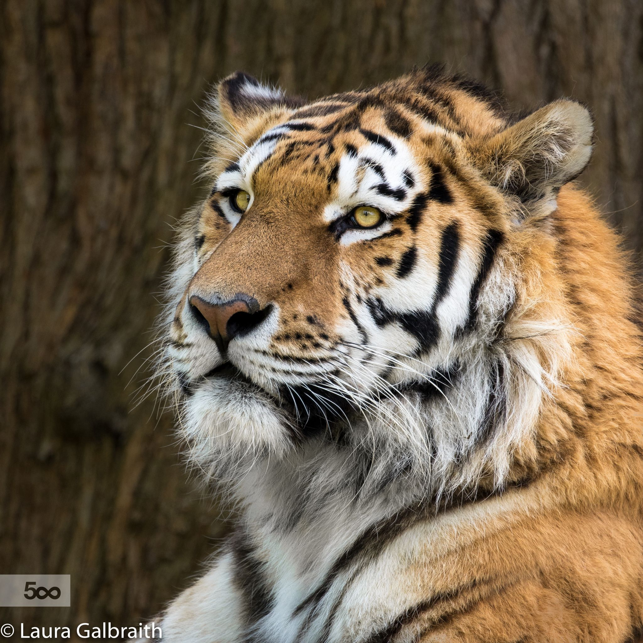Amur Tiger by Laura Galbraith / 500px