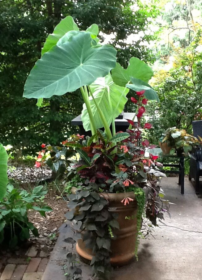 Container garden...elephant ears, patio fuchsia, sweet potato vine, creeping Jenny, Rex begonia, chicken gizzard