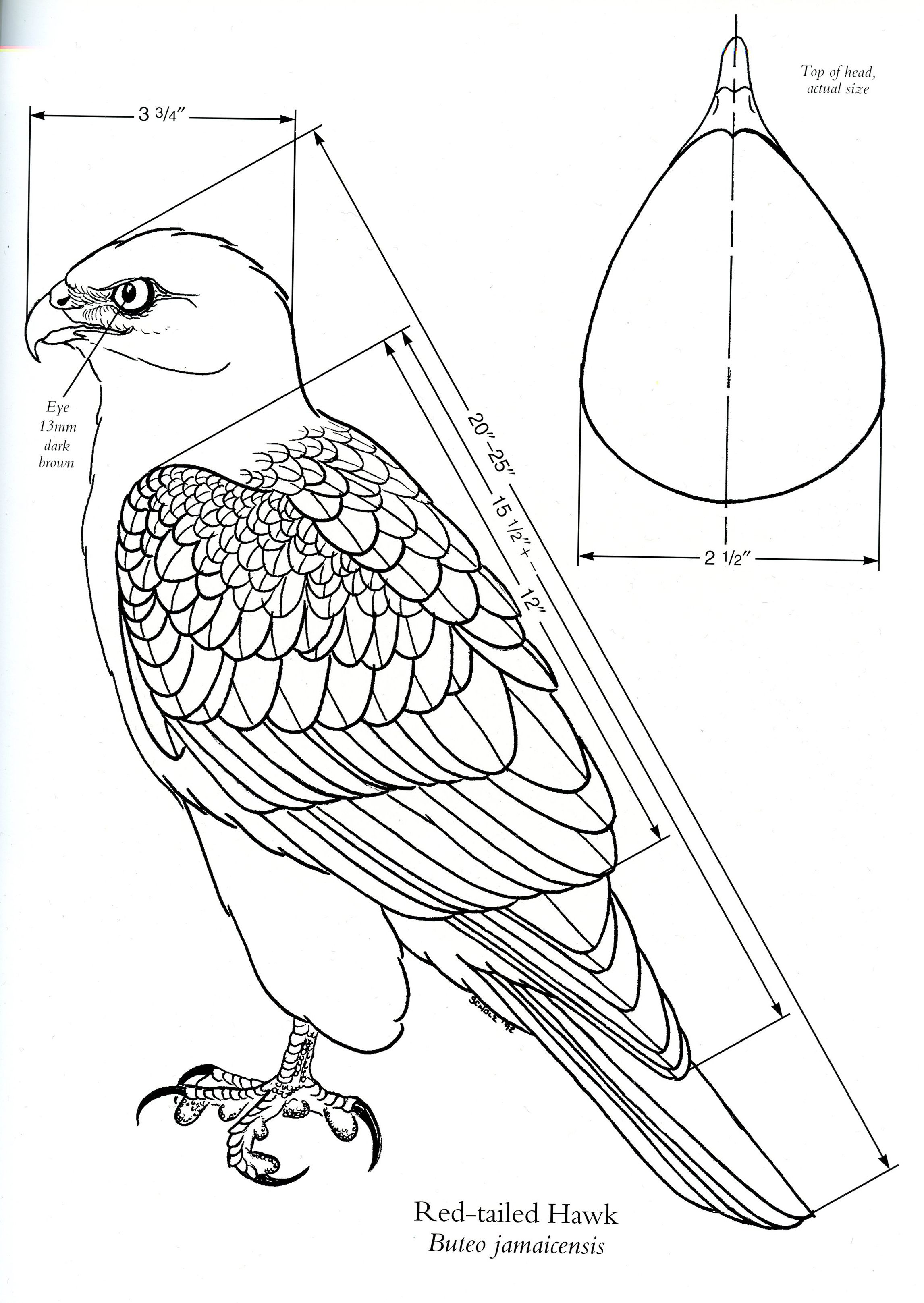 Diagram of a RedTailed Hawk [Source: Birds of Prey by