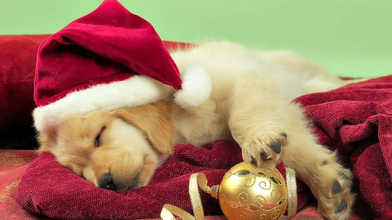 Tierische Weihnacht Christmas Cute Puppy Golden Retriever Wallpaper Christmas Puppy Dog Christmas Photos Christmas Animals