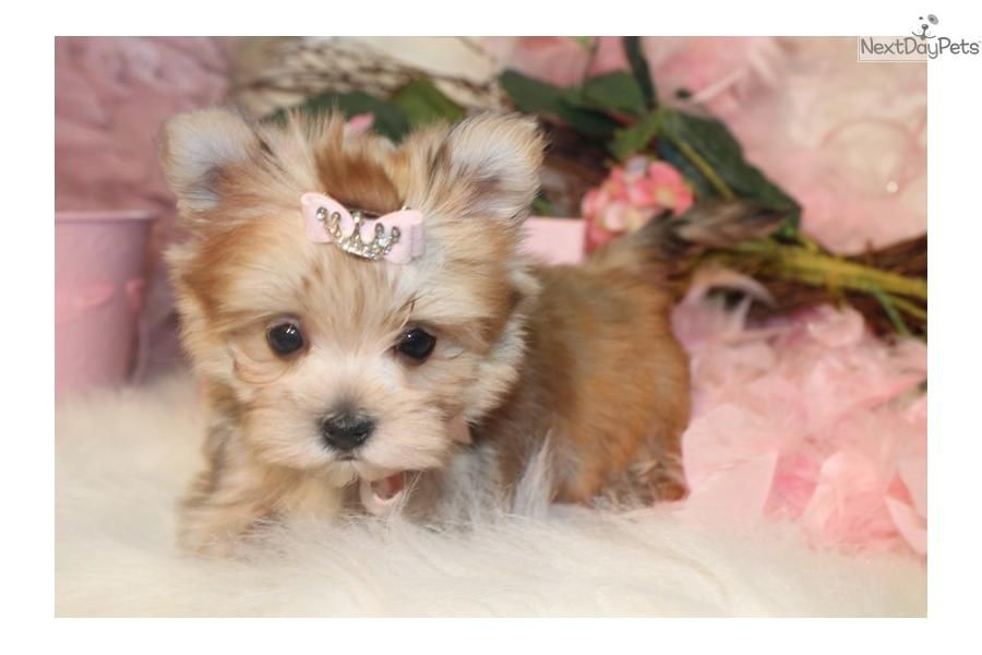 You Ll Love This Female Morkie Yorktese Puppy Looking For A New Home Morkie Puppies Morkie Dogs Puppies