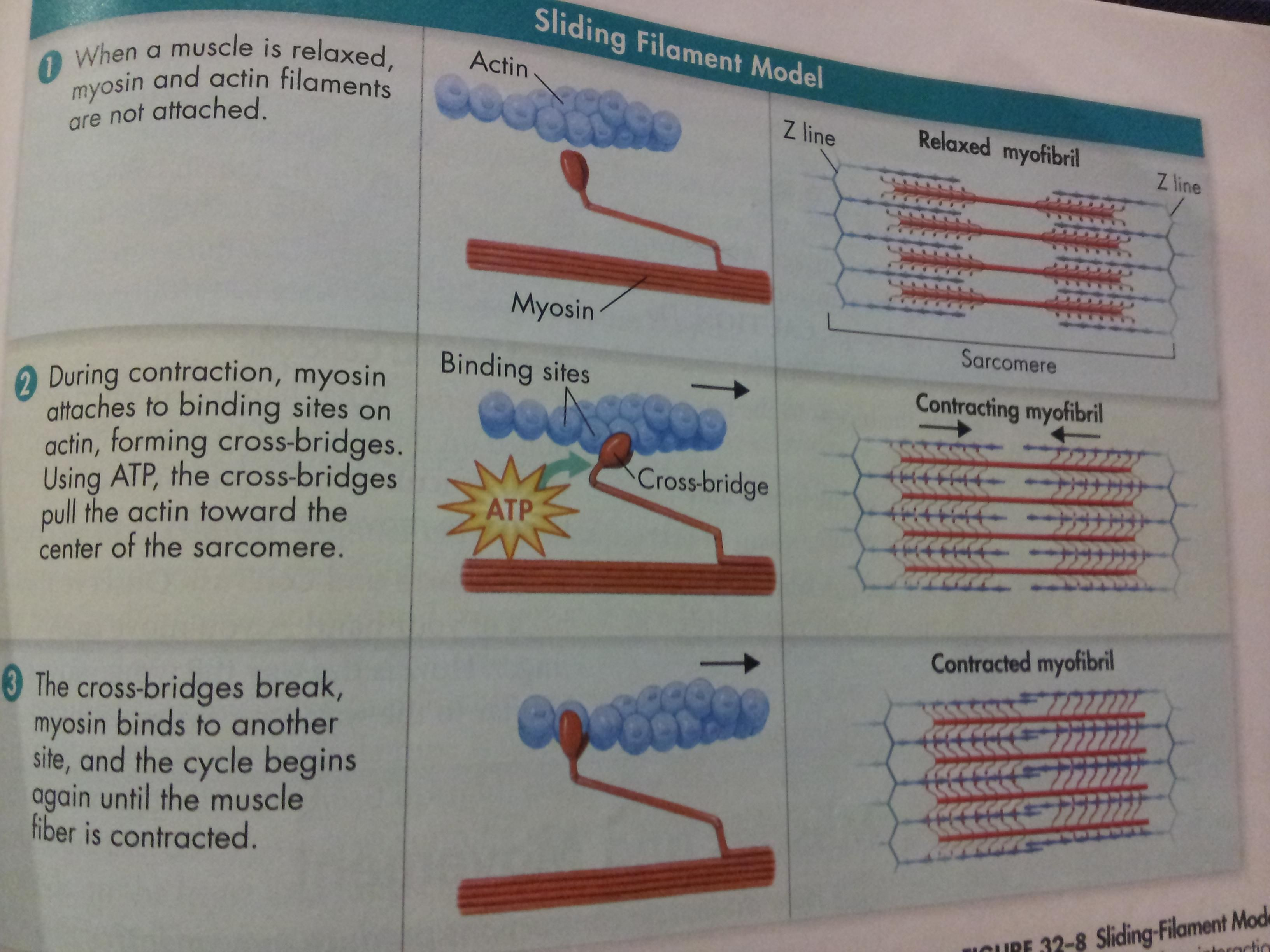 Myosin Myofilaments | myofilaments slide over myosin to shorten ...