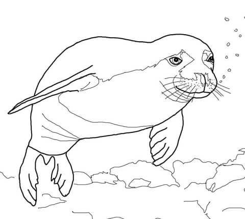 Hawaiian Monk Seal Coloring Page Hawaiian Monk Seal Monk Seal