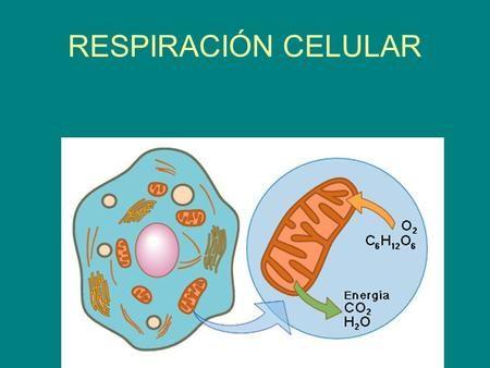 La Presentacion Respiracion Celular Metabolismo Reacciones Catabolicas Biologia Nm Respiracion Celular Biologia Fuentes De Energia