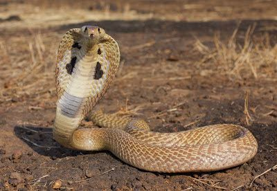 Cool Pictures Of King Cobras