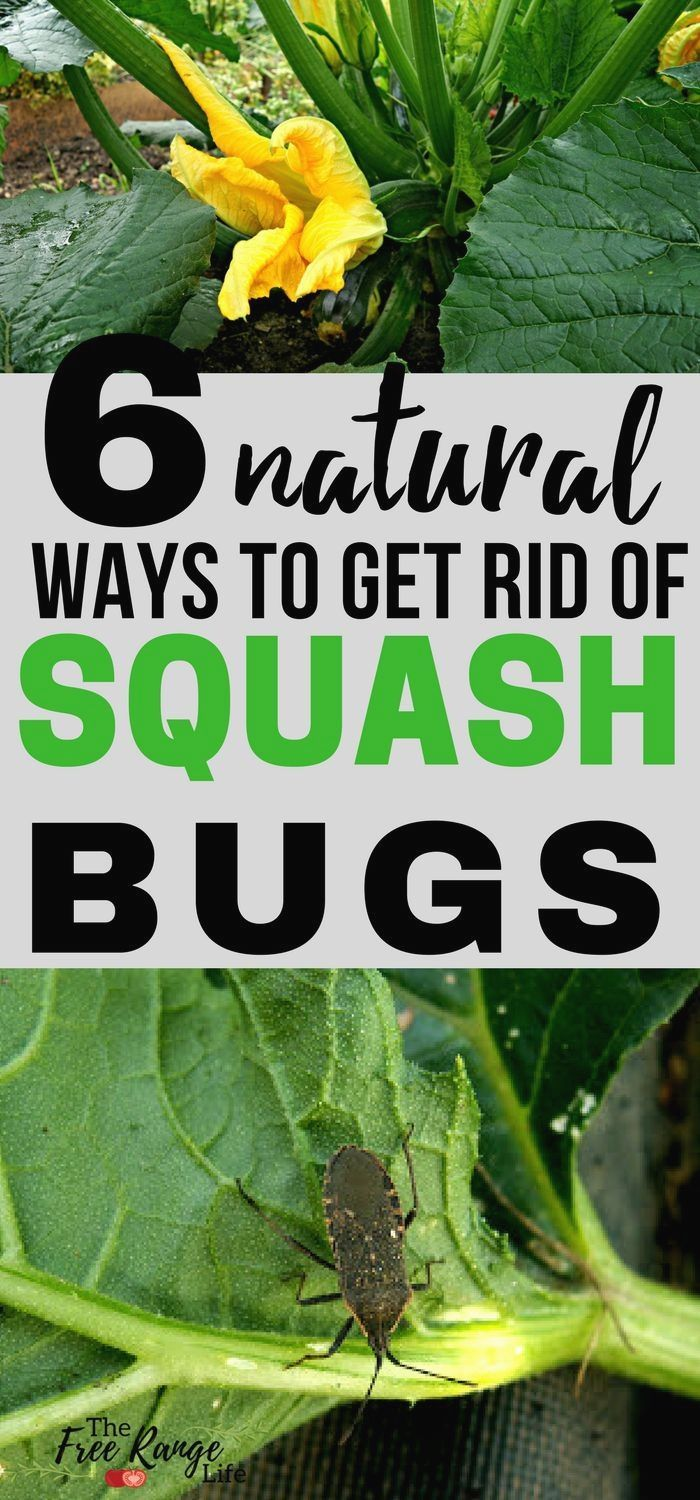 Organic Vegetable Gardening Learn 6 Ways To Control And Get Rid Of Squash Bugs In Your Garden That Are Completely Natural