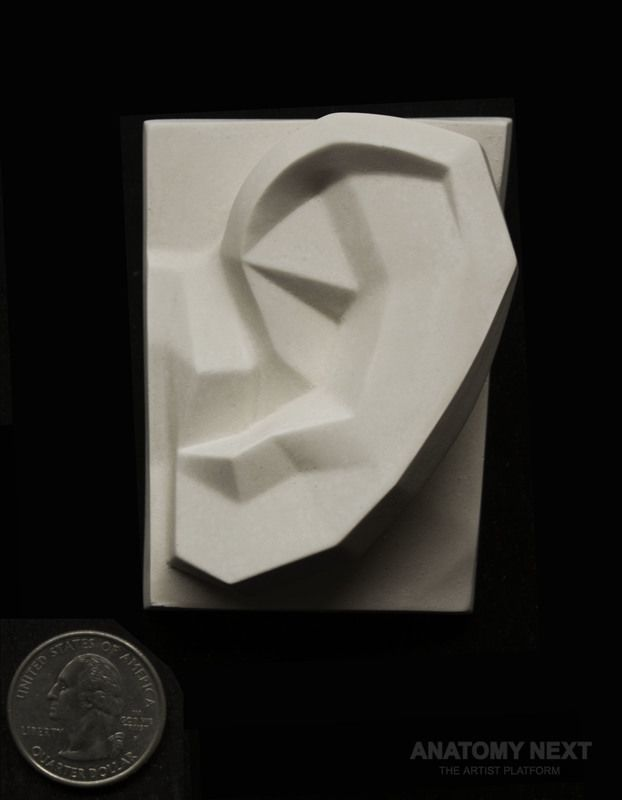 Anatomy Next store - PLANAR EAR 3D PRINT model | Modeling/Muscle Ref ...