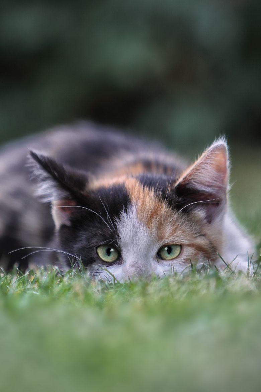 """""""Chatte d'Espagne"""" - Sujet : Description - Katzenjunges im Gras - Photographe : Michael Milfeit -   Date de prise du cliché : le 31 août 2013 -"""