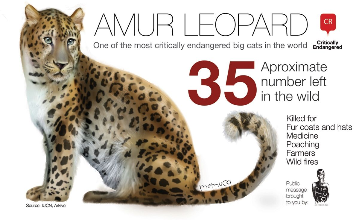 Amur Leopard Critically Endangered. There are very few