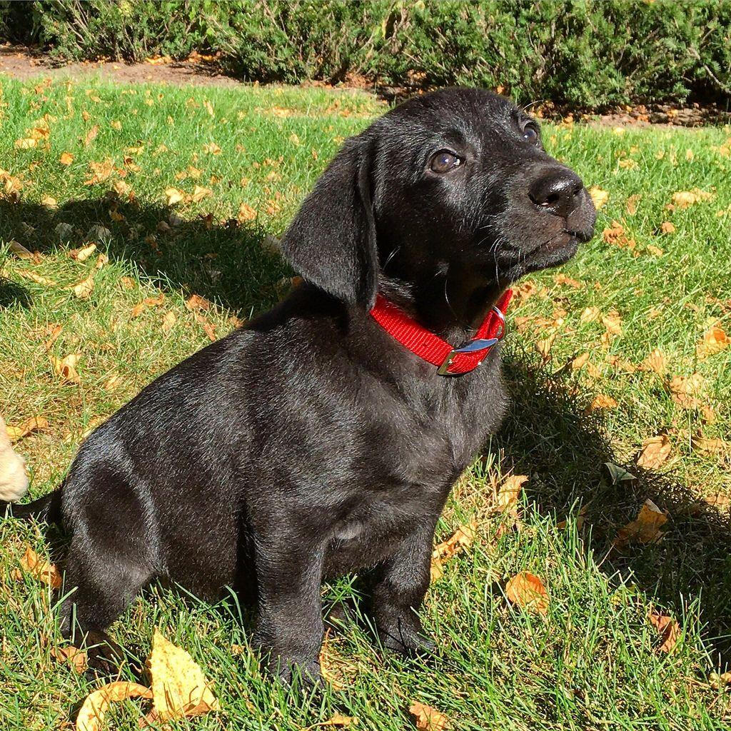 Little boy. #katanddog #lab #labs #lablife #lablove #labrador #lablovers #labradors #labstagram #laboftheday #labsofinsta #labradorable #labsofinstagram #labradorretriever #labradorretrievers #labradorsofinstagram #retriever #retrievers #retrieversgram #retrieveroftheday #retrieversofinstagram #worldoflabs #dog #dogs #blacklab #labradorpuppy #labpuppy #puppy #puppies