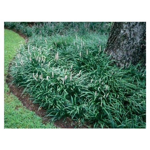 Underplanting Large Trees With Green Liriope For A Low